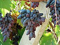 Охраняемые виноградники._10