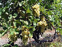 Охраняемые виноградники._16