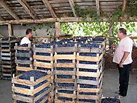 Охраняемые виноградники._1