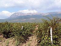 Охраняемые виноградники._4